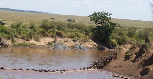 First Wildebeest Attempting The Initial Crossing c. Lanelli 2008