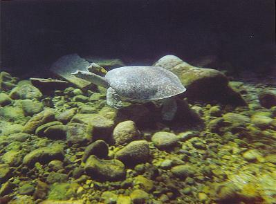Texas soft shell spiny turtle c. Lanelli 2004